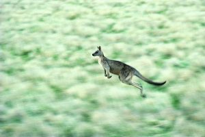 kangaroo wallpaper download