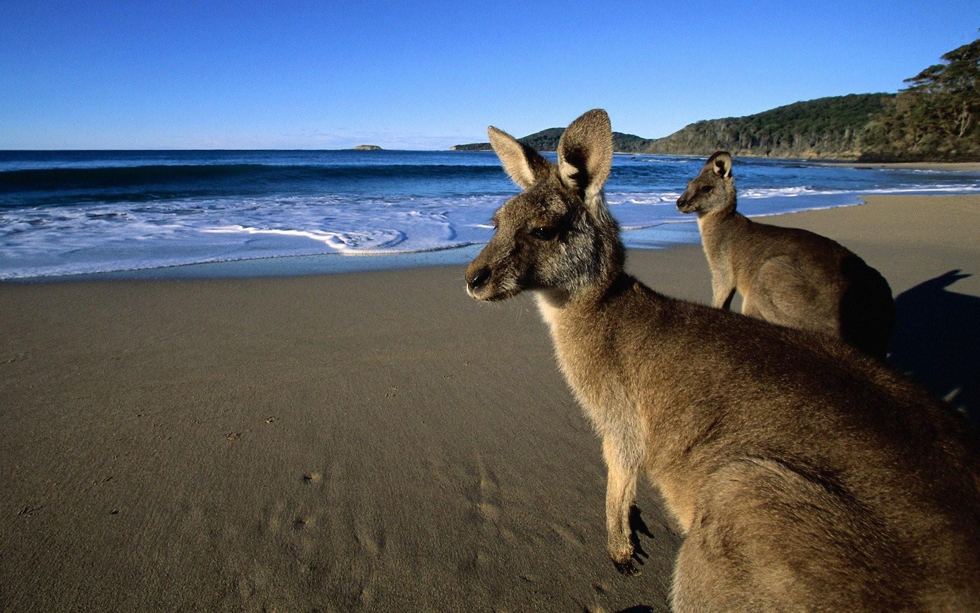 kangaroo wallpaper free