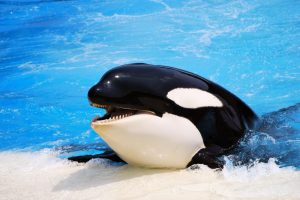 killer whale beautiful
