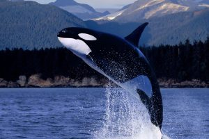 killer whale wallpaper