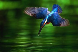 kingfisher bird picture