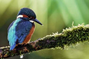 kingfisher calendar pictures