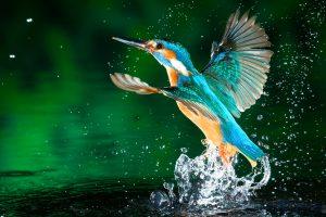 kingfisher wallpapers hd