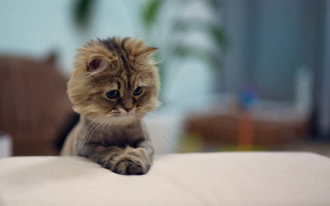kitten walpapers