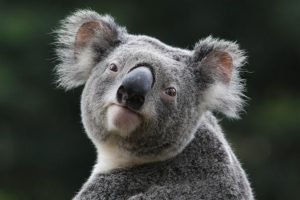 koala images