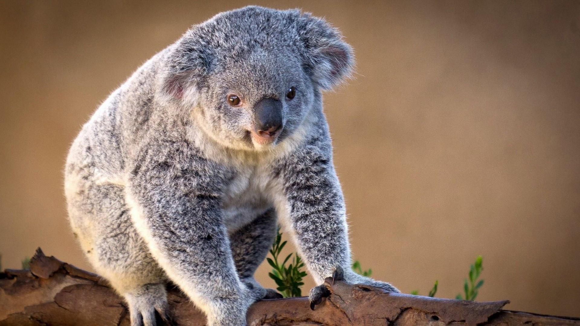 koala photos
