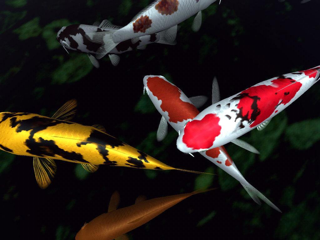 koi fish desktop backgrounds
