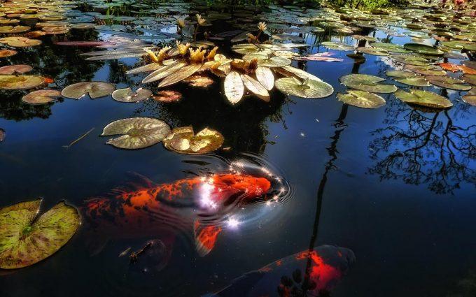 koi fish images