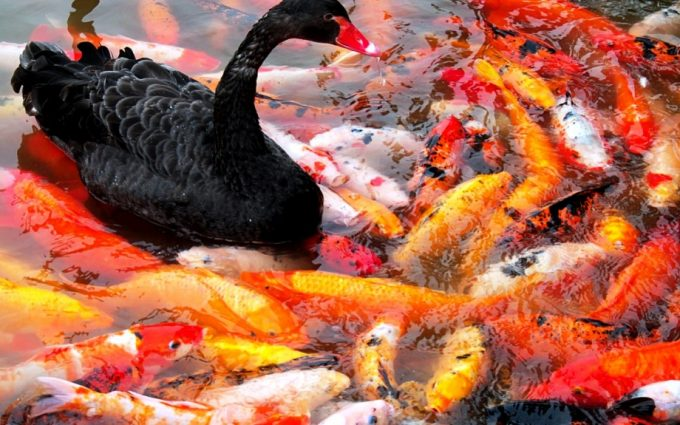 koi fish picture hd