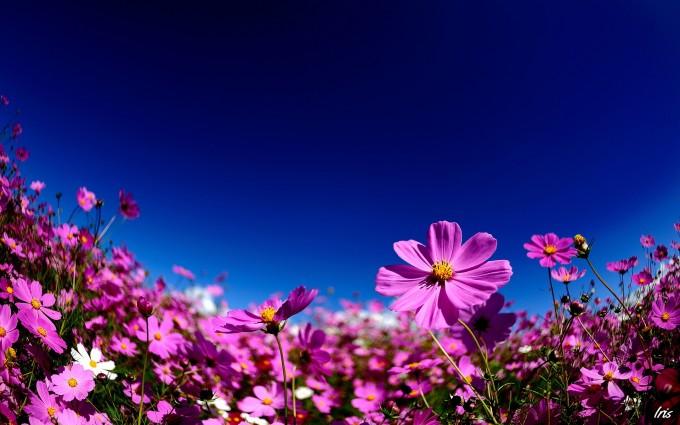 kosmeya flower