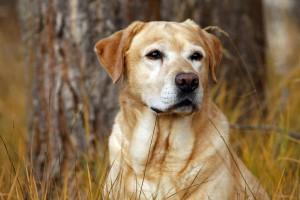 labrador dog wallpapers