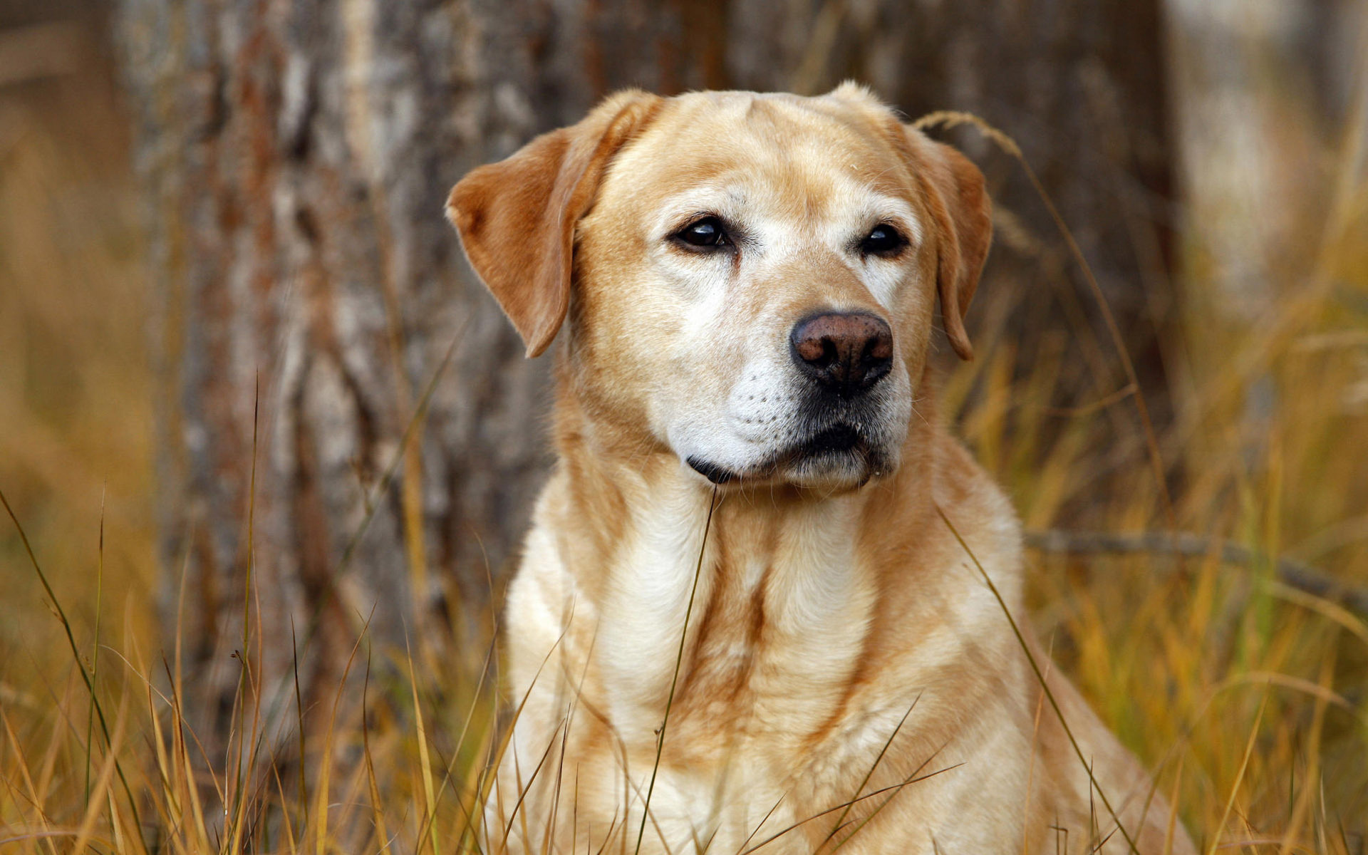 labrador dog wallpapers
