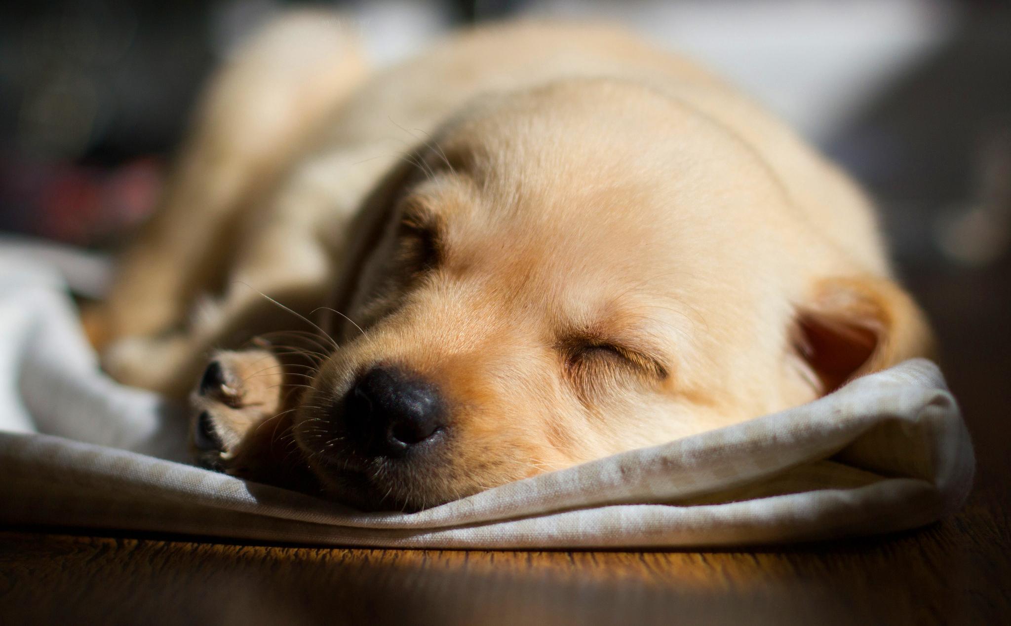 labrador pup dog