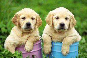 labrador wallpaper puppies