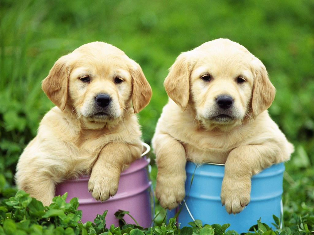labrador wallpaper puppies