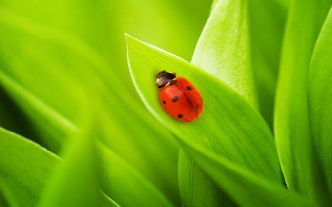 lady bug hd