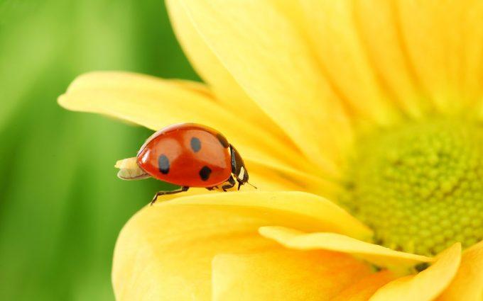 ladybugs images free