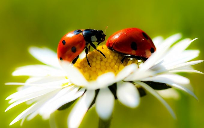 ladybugs wallpaper hd