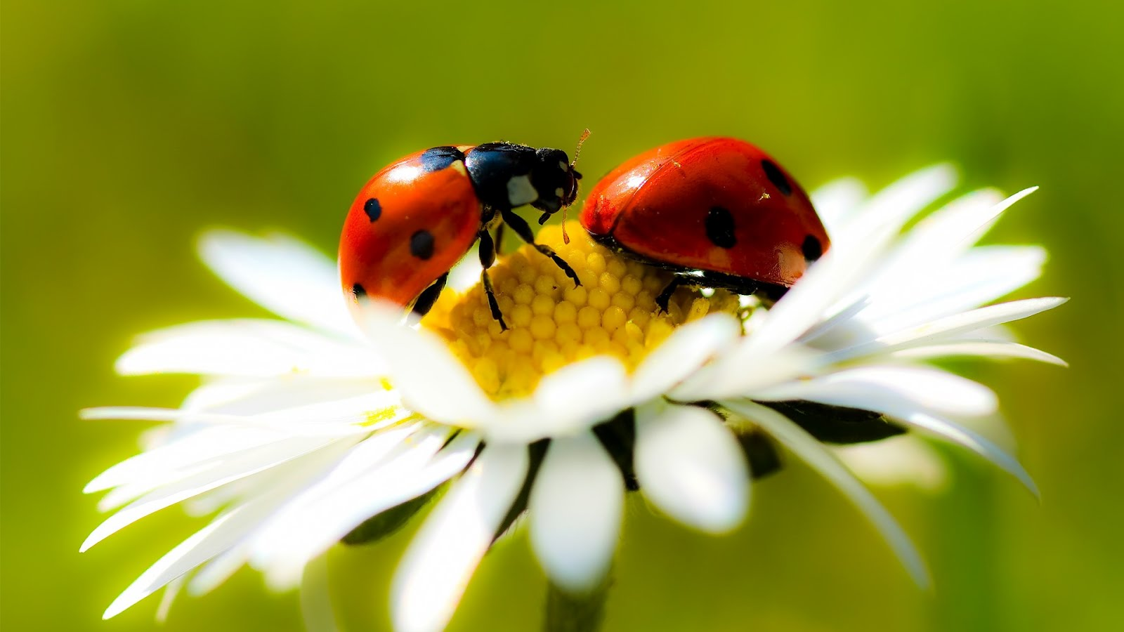 ladybugs wallpaper hd