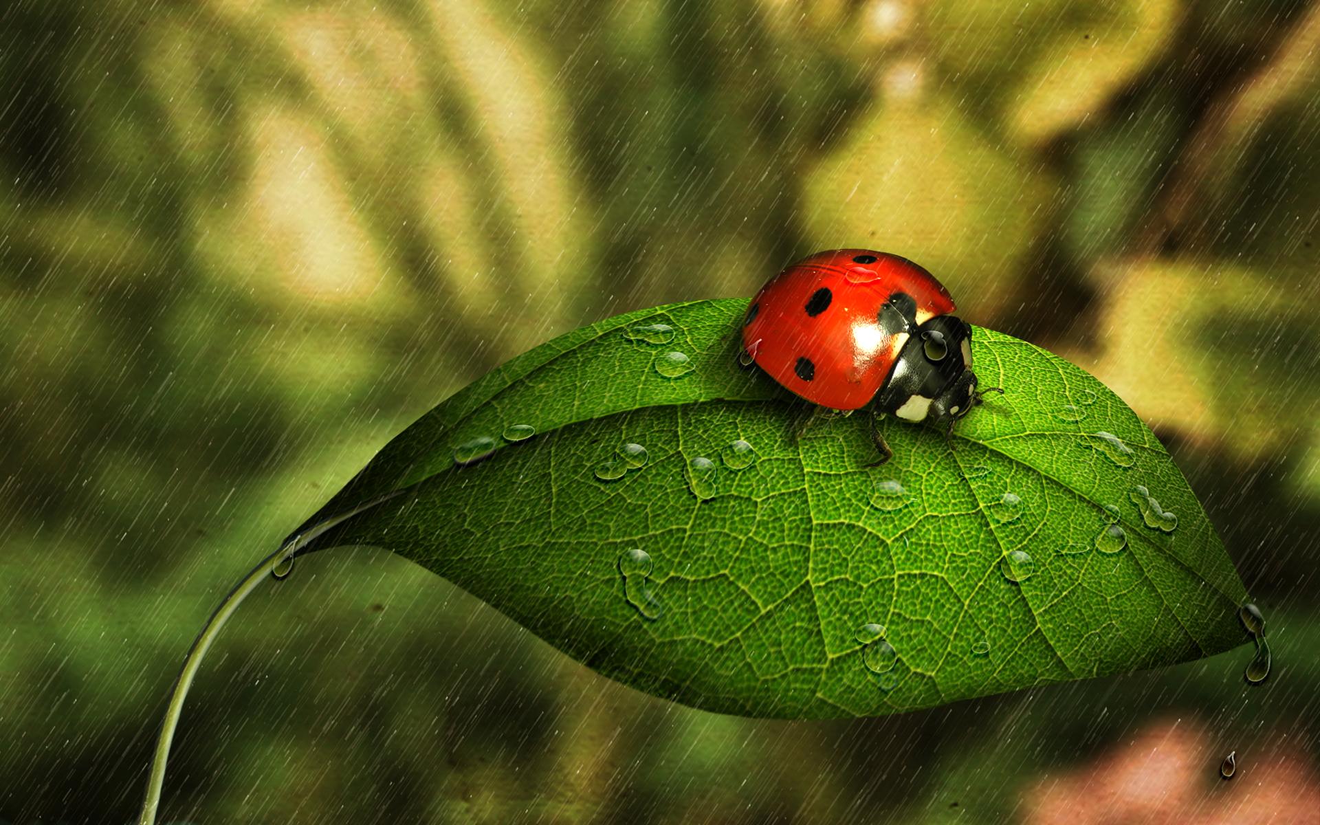 ladybugs wallpapers