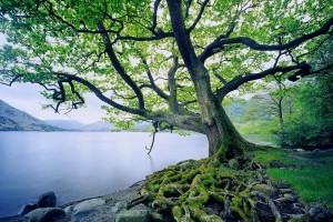 Oak Tree by Ullswater Lake, Lake District, Cumbria, England, UK