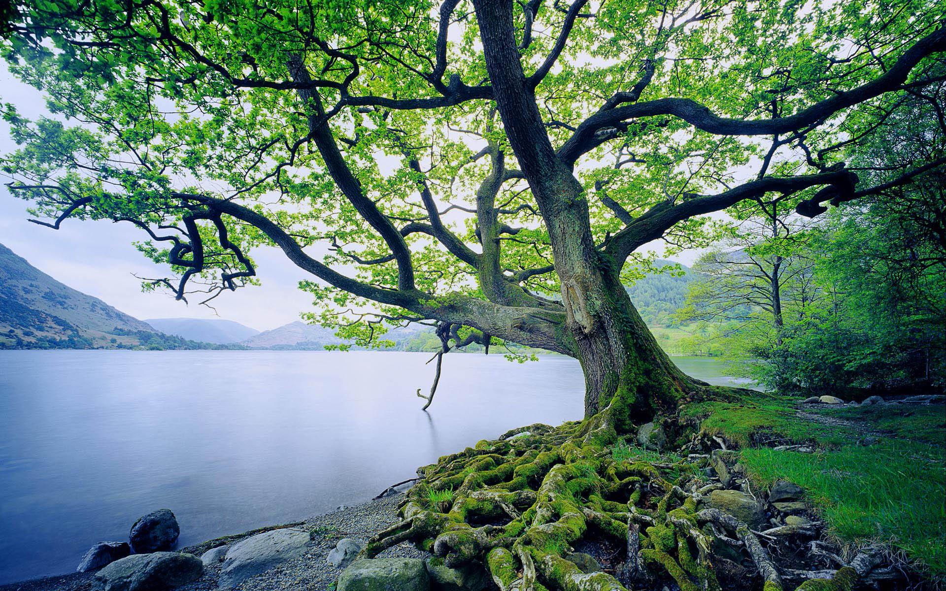 Oak Tree by Ullswater Lake, Lake District, Cumbria, England, UK
