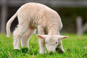 lamb wallpapers