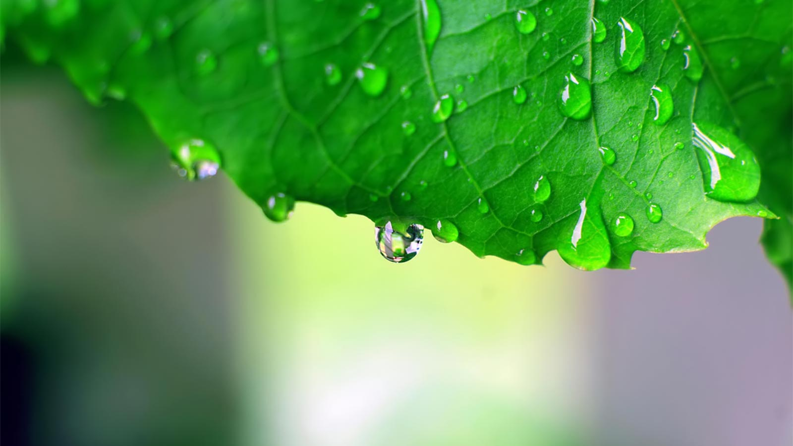 laptop wallpapers dew drops