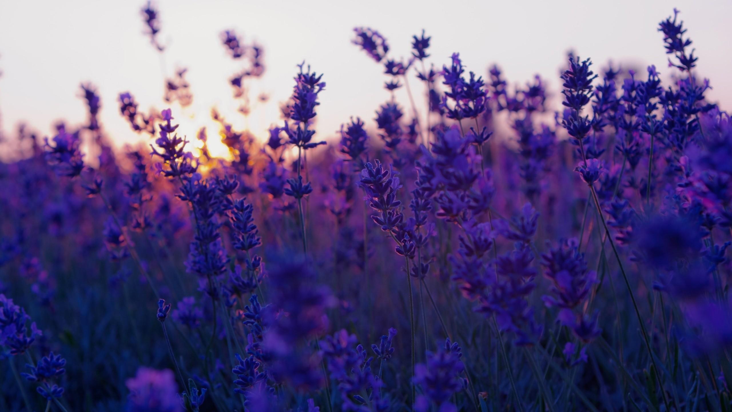 lavender cool