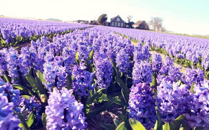 lavender field hd