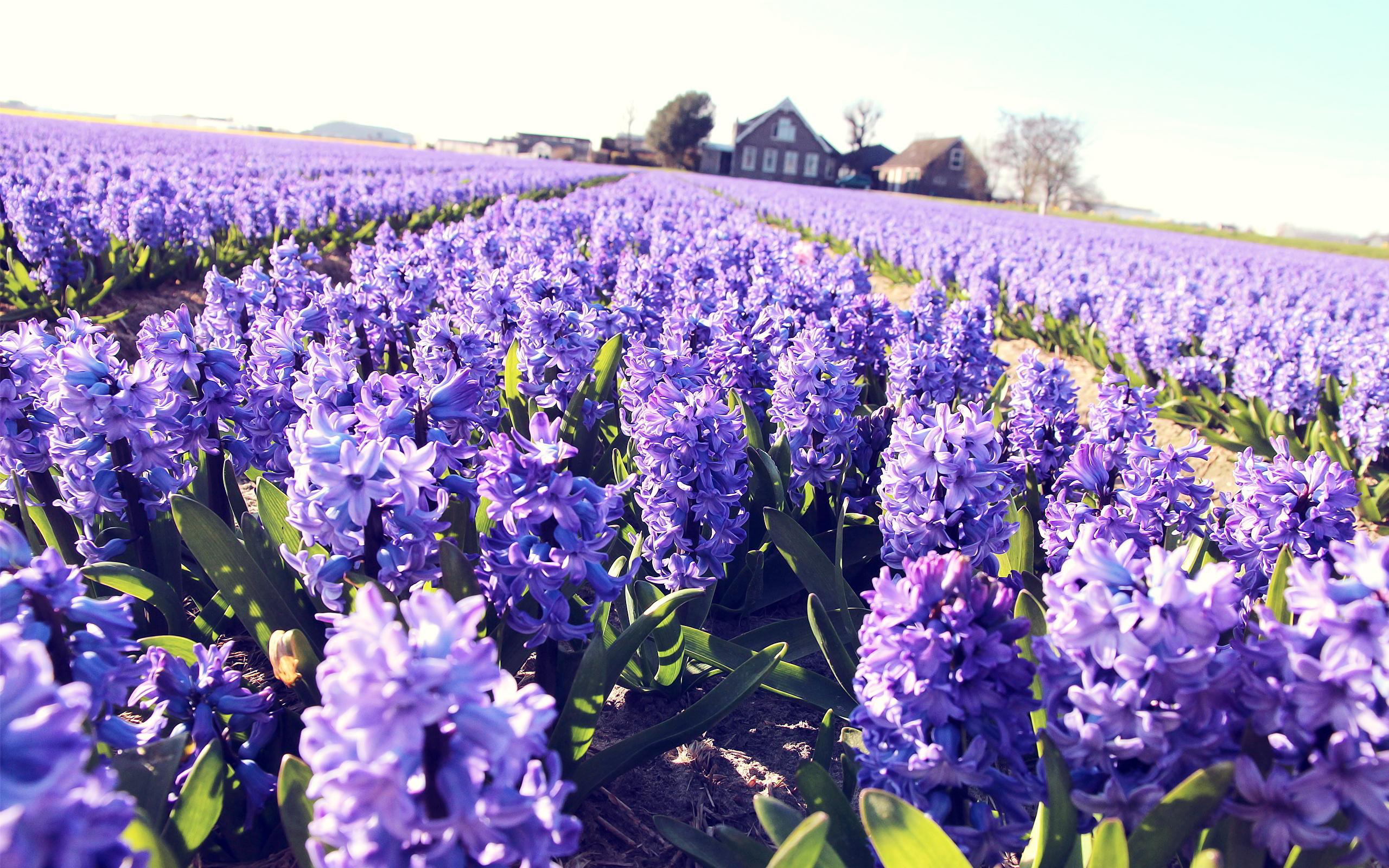 lavender field hd desktop - photo #10