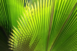 leaf palm pictures