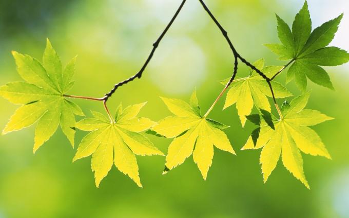 leaf wallpaper brach
