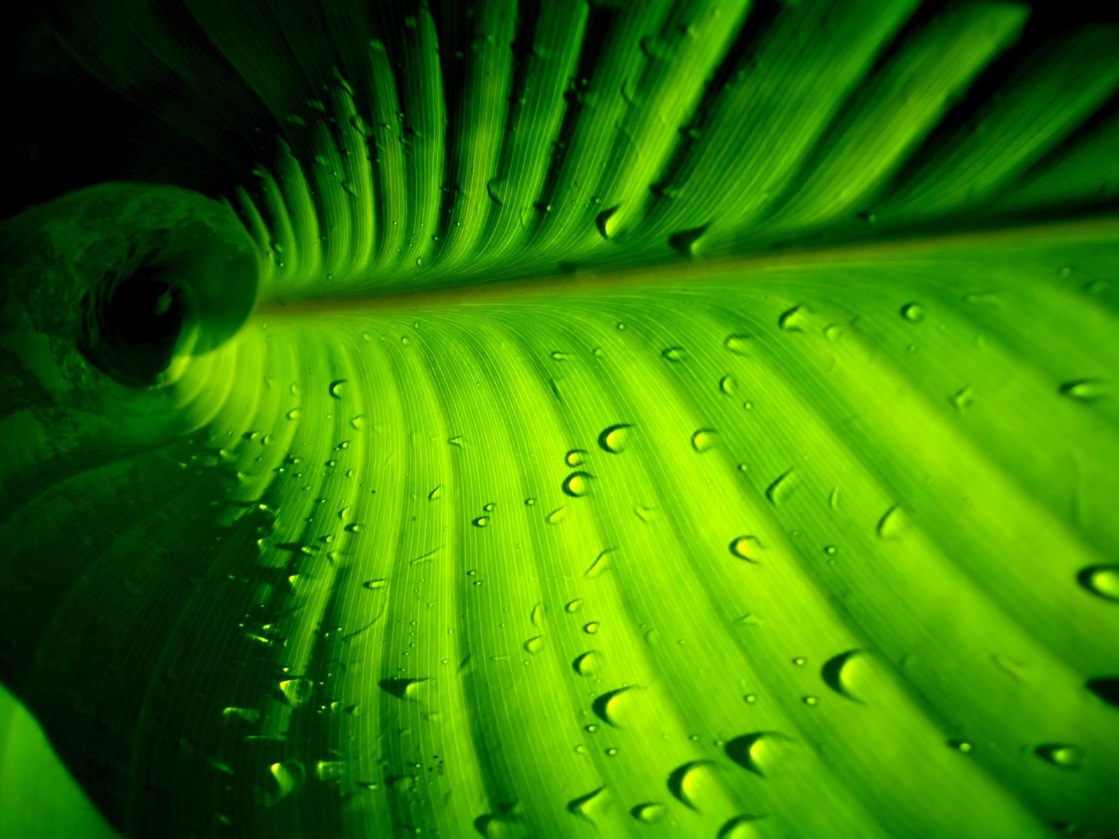 leaf wallpaper dew drops