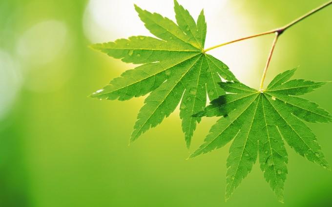 leaf wallpaper green