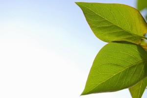 leaf wallpaper summer