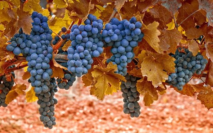 leaves photo grapes