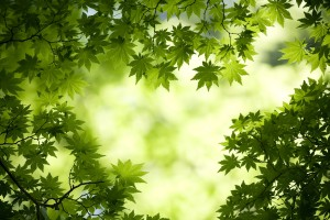 Fresh Japanese maple leaves