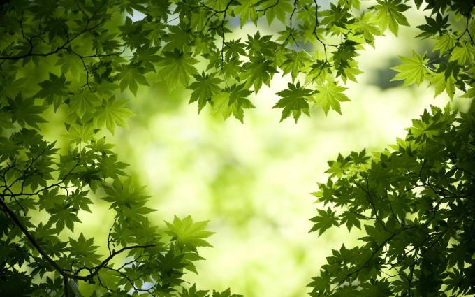 Fresh Japanese maple leaves
