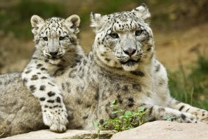 Snow Leopard (Uncia uncia) mother with cub, native to mountains of central and southern Asia
