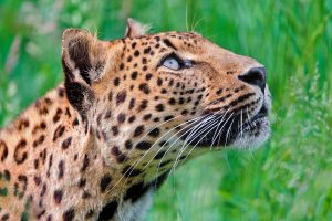leopard breed
