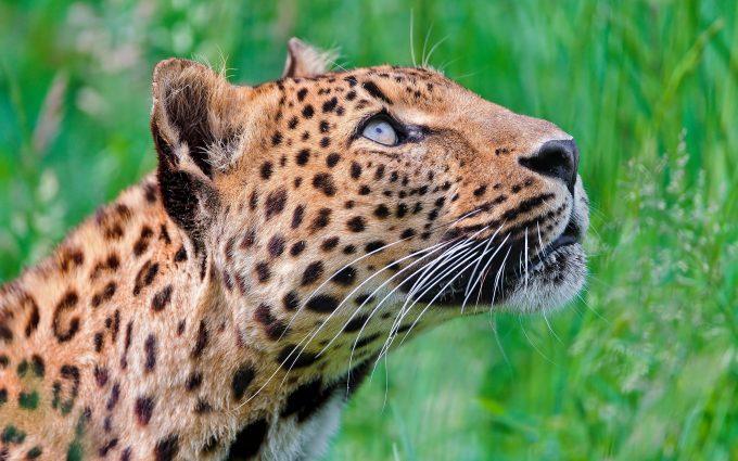 leopard breed