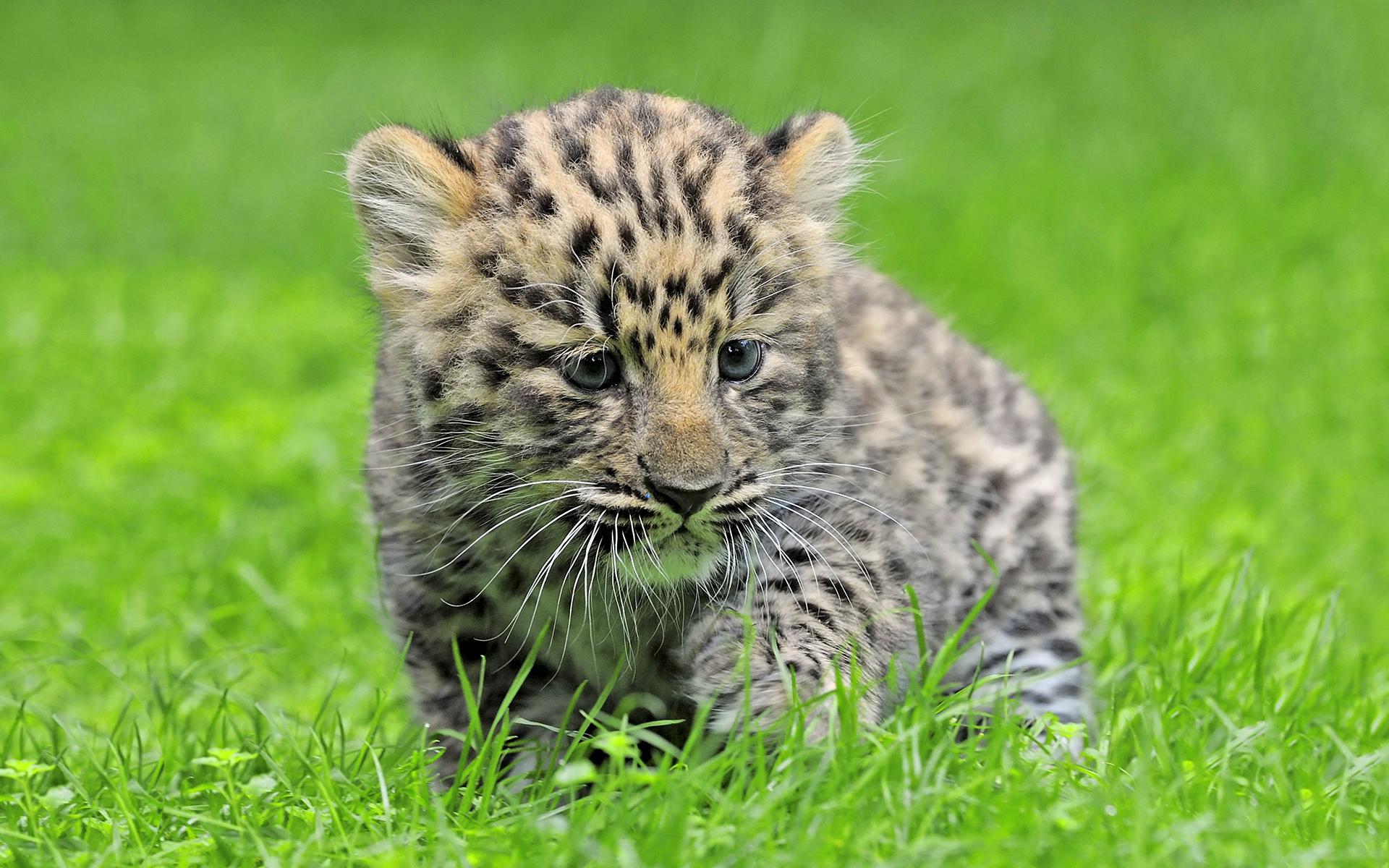 leopard cute cub