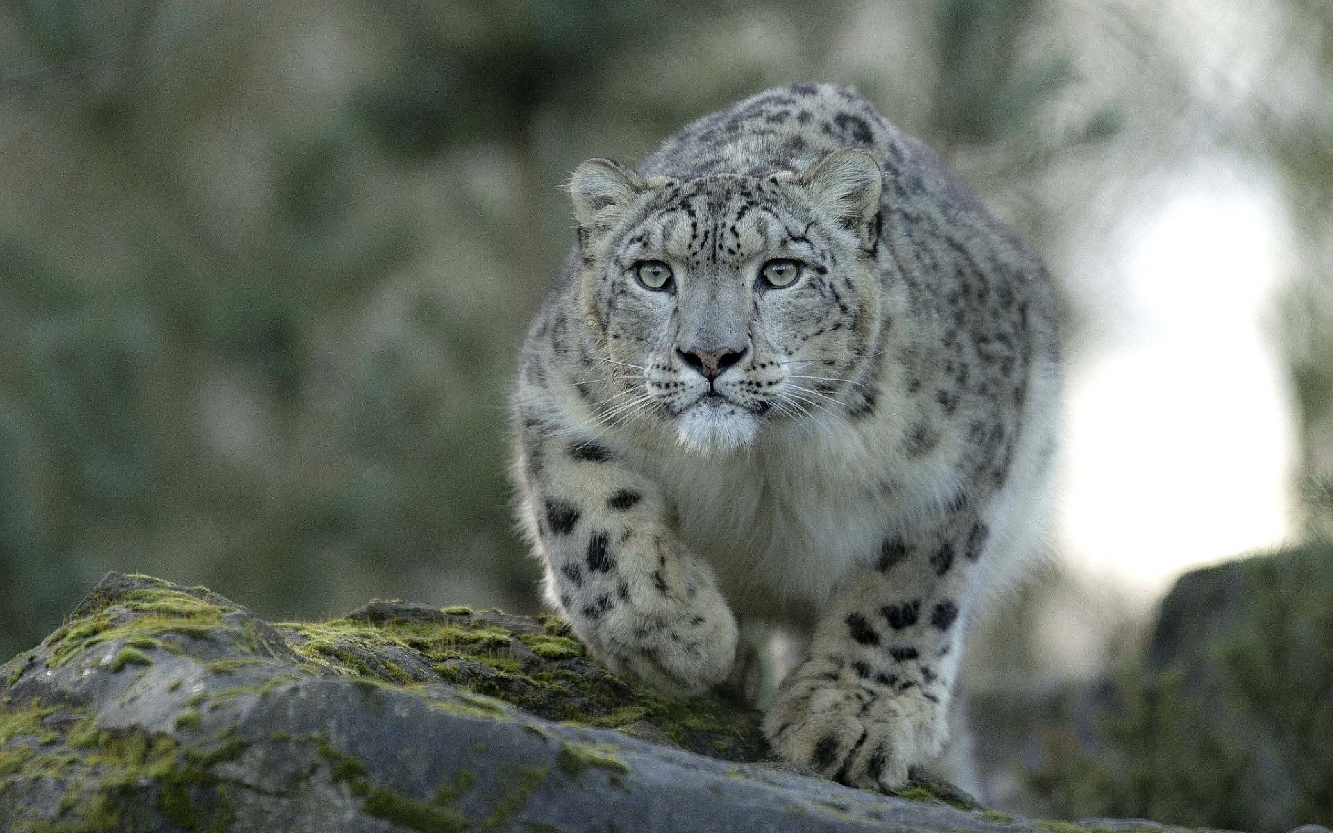 leopard desktop backgrounds