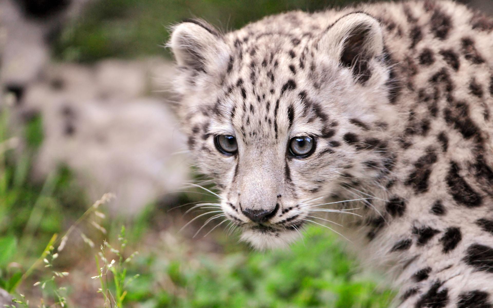 leopard desktop wallpaper