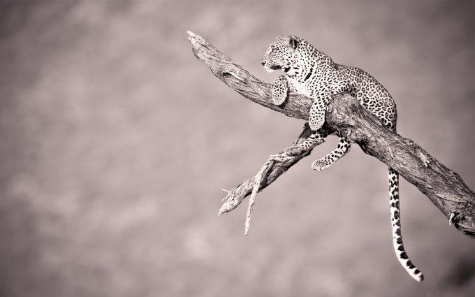 leopard funny wallpaper