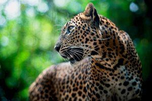 leopard hd