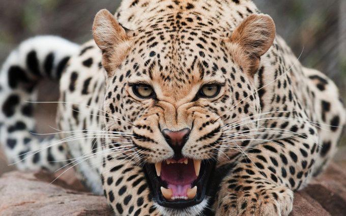 leopard hd wallpaper