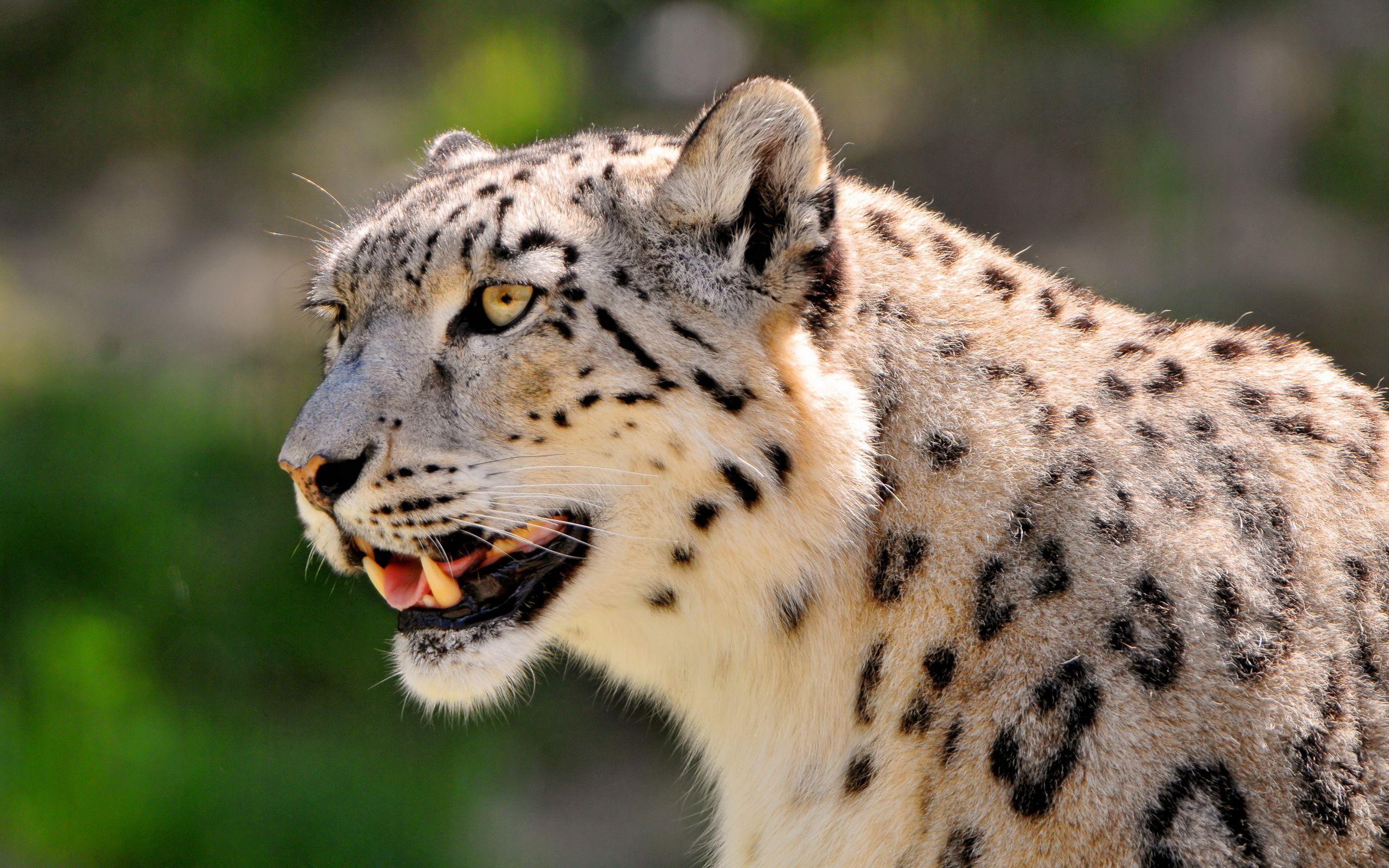 leopard hd wallpapers