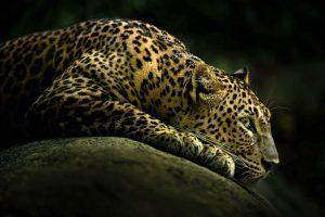 leopard image